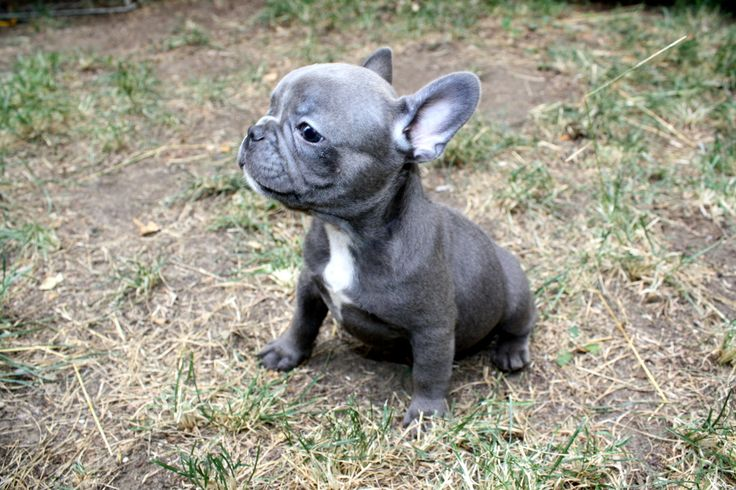 I'm pretty sure a French Bulldog puppy is in my future :)