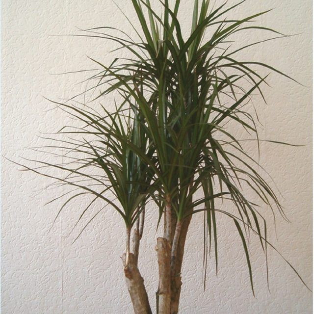 A Madagascar dragon tree is the most popular species of dracaena for use as a houseplant, and is easy to care for