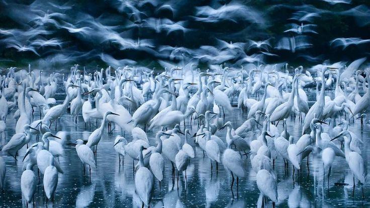 Imagen ganadora de la categoría Pájaros. Zsolt Kudich trabajaba en un proyecto de documentación de las últimas regiones vírgenes del Danubio cuando encontró una sexta parte de la gran población de garzas de Hungría