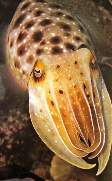 cuttlefish with eyelashes