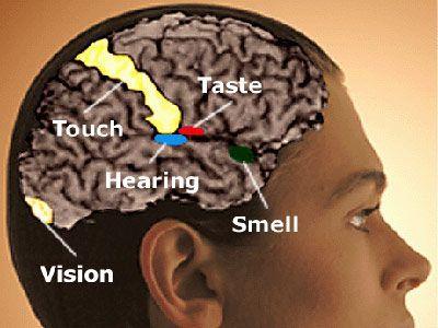 Cervello: alcune persone avrebbero capacità sensoriali e di percezione speciali racchiuse nel termine sinestesia (fenomeno sensoriale/percettivo durante il quale il contatto o la presenza di un odore o sapore evoca un'altra reazione sensoriale