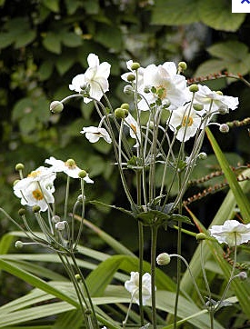 Anemone japonica tall floaty stems