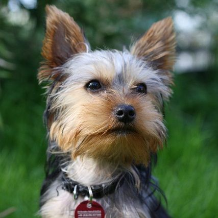 Diabetic dog treats - dogs with diabetes can live a normal life too -> article inside
