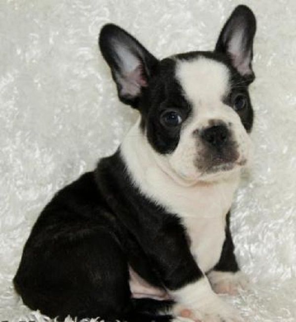 black and white french bulldog puppies for sale | Zoe Fans Blog