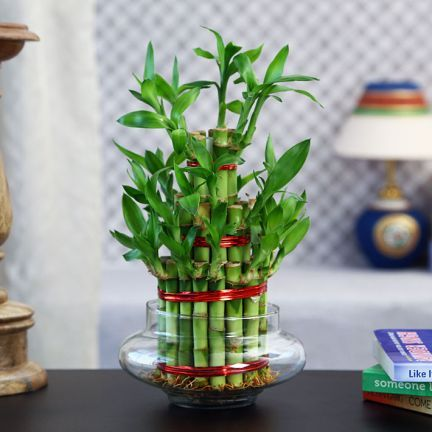 "#DiwaliDecor #FabFurnish for the prosperity and wealth from fabfurnish ""Exotic Green 3 Layer Lucky Bamboo Big Natural Plants"""