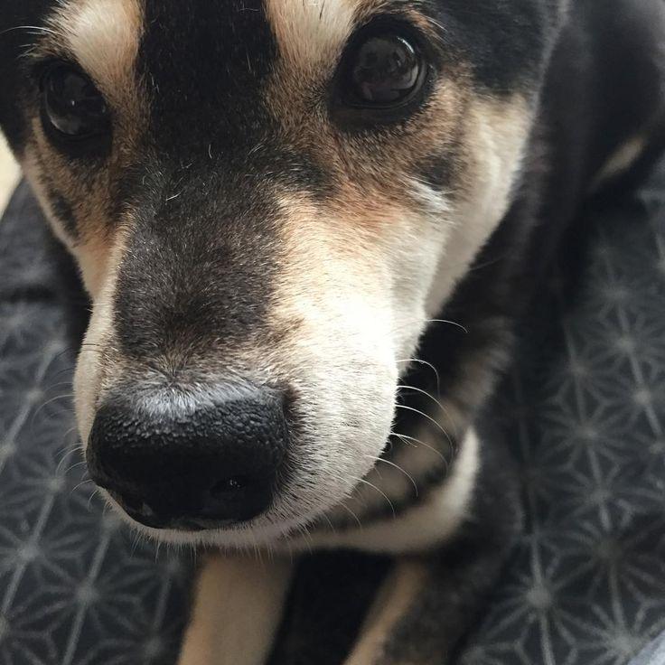 そこ!  俺の場所…  #ジャーマンシェパード  #shepherd #germanshepherd #犬 #柴犬 #shiba #黒柴 #シェパード #犬 #dog #gsd