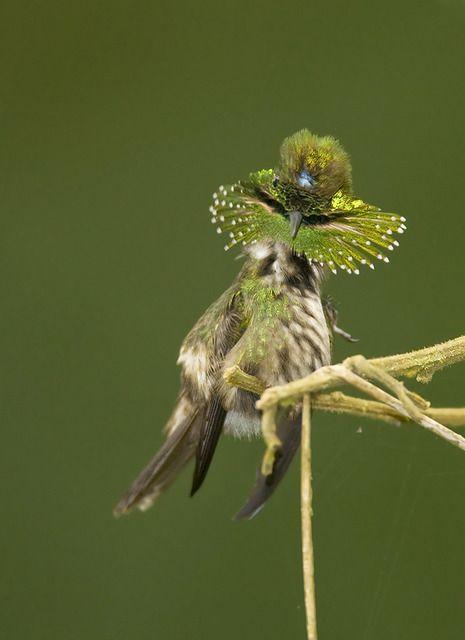 Foto topetinho-verde (Lophornis chalybeus) por Adams Serra | Wiki Aves - A Enciclopédia das Aves do Brasil