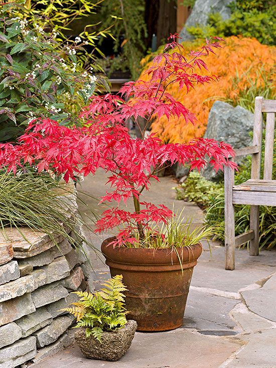 Weeping japanese maple garden images for Maple trees for small gardens