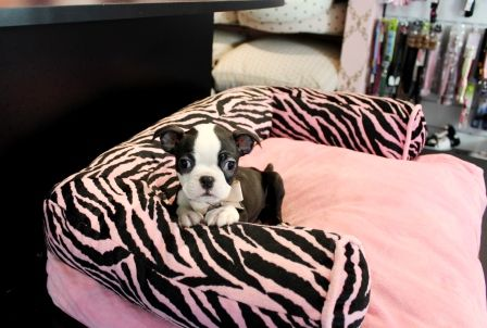Boston Terrier Puppies For Sale - Buy Your Boston Terrier Puppy at TeacupPuppiesStore.com