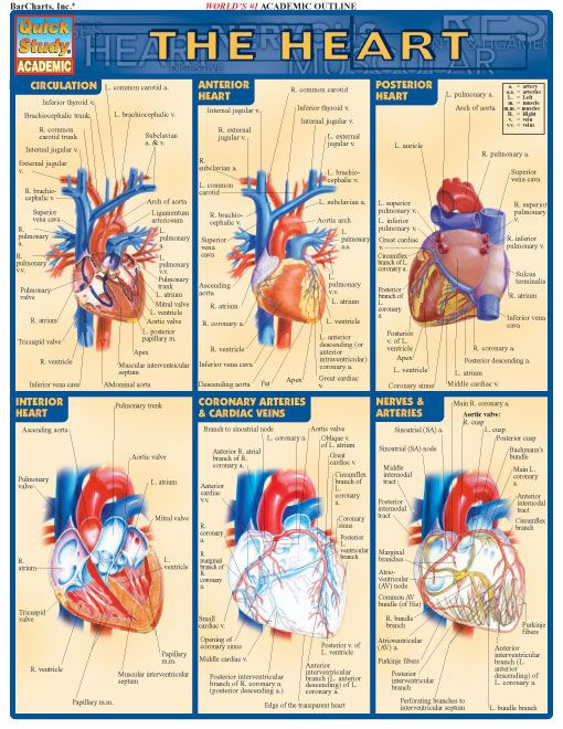 235 best i love anatomy images on pinterest human anatomy medical 235 best i love anatomy images on pinterest human anatomy medical science and bones ccuart Images