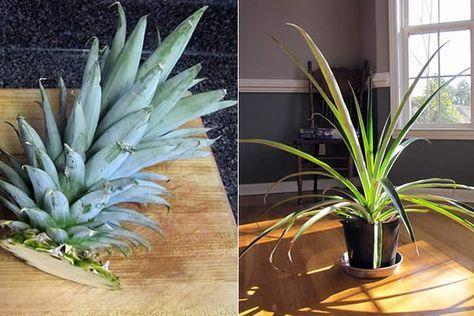 Cómo cultivar una piña en casa