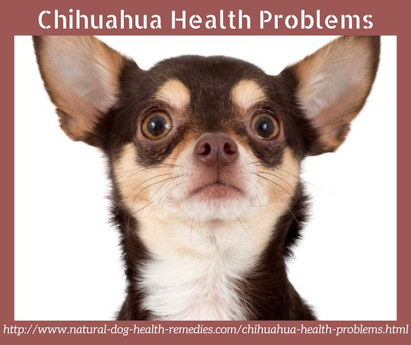 Common Chihuahua health problems.