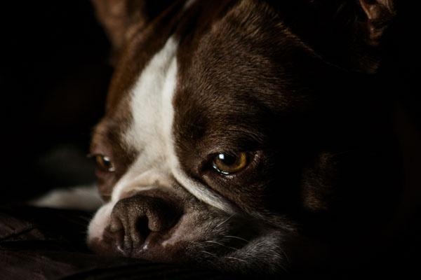 Sad Portrait of a Brown Boston Terrier Dog. Posted at http://www.bterrier.com/sad-portrait-of-a-brown-boston-terrier-dog/