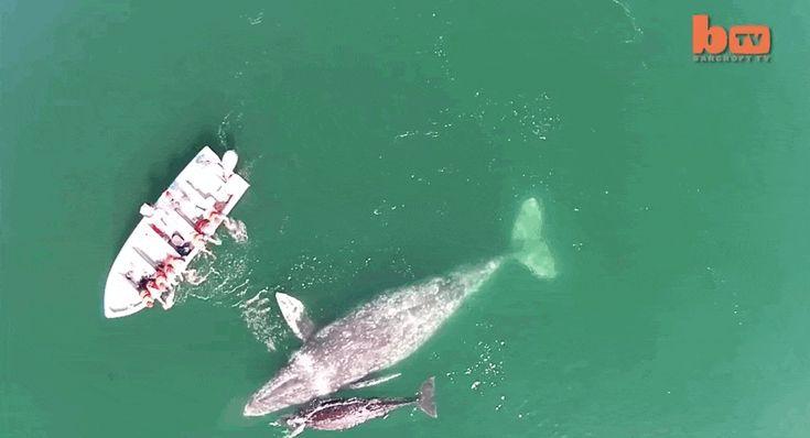 Enorme Mamma balena e il suo bambino Delight turisti con migliore accoglienza mai