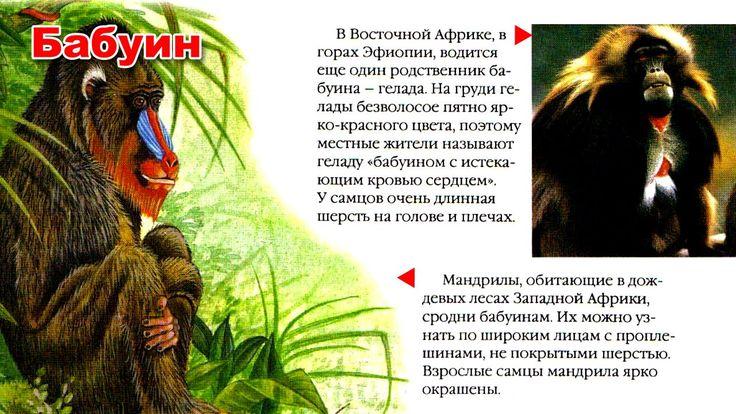 Энциклопедия для детей. Буква Б. Бабуин.