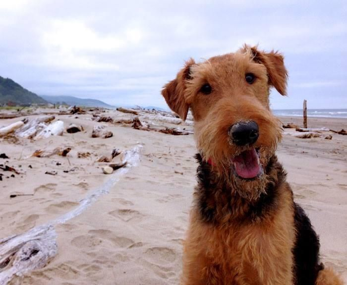Pin By Jill Hanrahan On Awww In 2020 Dog Names Airedale Dogs Dogs