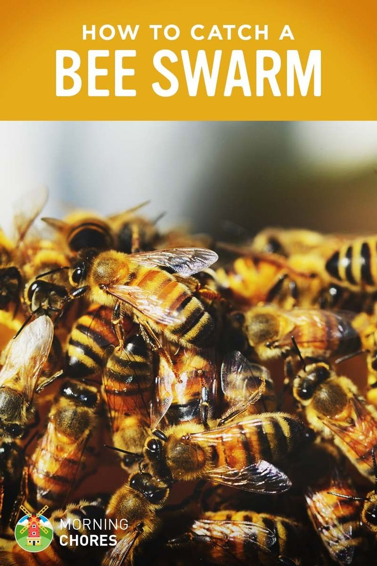 Why buy honey bees if you can get them for free? Find out the two methods you can use to catch a swarm of honey bees safely.