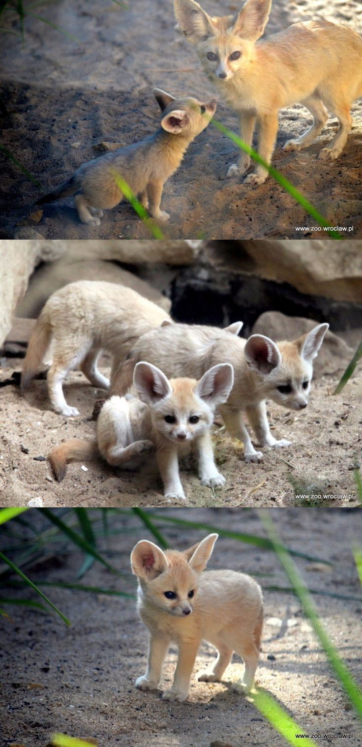 Baby inari fox for sale - Look At These Precious Fennec Fox Kits That Just Debuted At Zoo Wroc Aw