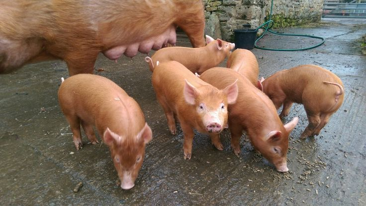 Growing very nicely and enjoying some outdoor time #Tamworth #weaners #rarebreed #pigs