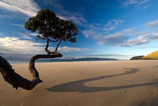 Pohutukawa, Opito Bay, Coromandel Peninsular, North Island, New Zealand.