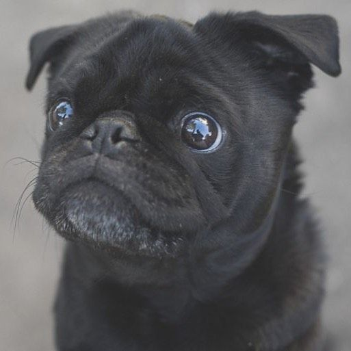 This week's pug photo challenge is all about those adorable pug expressions. So let's see them. Tag them #tpdexpressions #thepugdiary