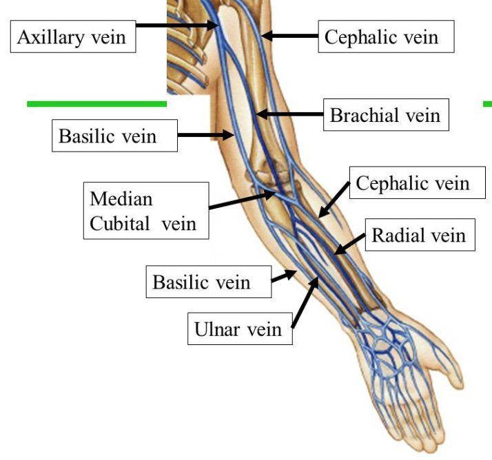 363 Best Artery Vein Upper Limb Images On Pinterest Nursing