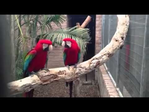 Two Macaws Song