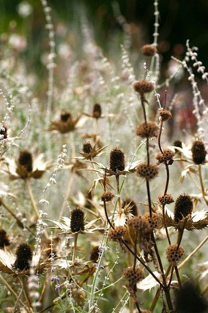 blooming-inspiration:    Textures- Anita Nowinska on Flickr.  prickly thistles and soft silver fronds