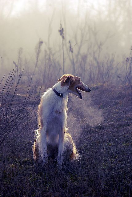 """The borzoi (pron.: /ˈbɔrzɔɪ/; literally """"fast"""") is a breed of domestic dog (Canis lupus familiaris) also called the Russian wolfhound and descended from dogs brought to Russia from central Asian countries. It is similar in shape to a greyhound, and is also a member of the sighthound family."""