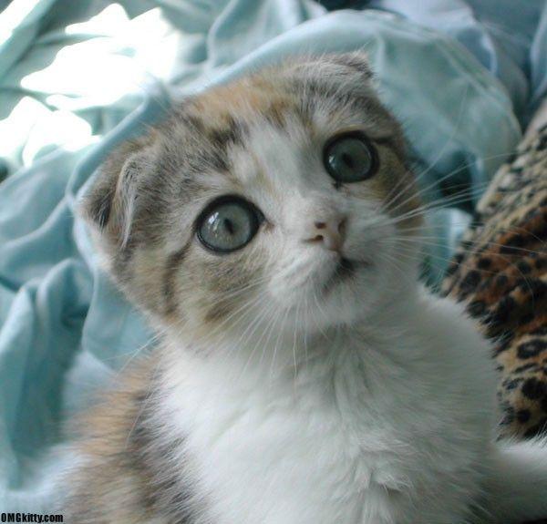 """gato scottish fold-Os gatinhos da raça Scottish Fold, também chamada de Coupari, no Canadá, têm uma mutação genética que faz com que a cartilagem da sua orelha tenha uma dobra (""""fold"""", em inglês) – ou às vezes duas ou três dobras. É quase impossível não se apaixonar por este gato de temperamento tranqüilo e amigável, descobertos em 1961 na Escócia. Estes gatos nascem com a orelha com a aparência normal, mas elas começam a dobrar após cerca de 21 dias depois do nascimento."""