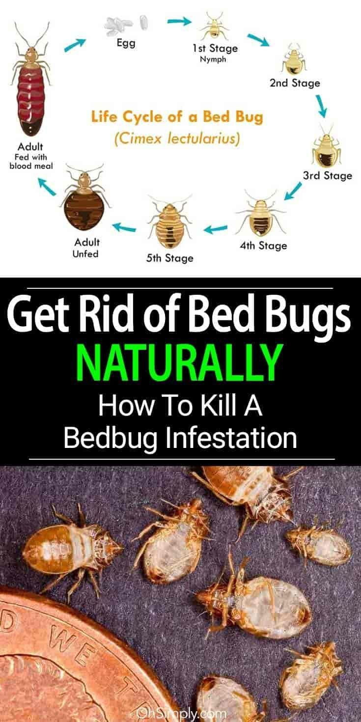 Get rid of bed bugs naturally. Learn the signs and steps