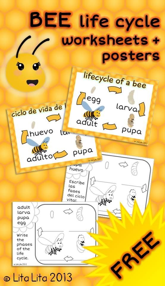 FREE bee life cycle worksheets english+spanish..will be great for a field trip to the Snyder's! =p #Spanish