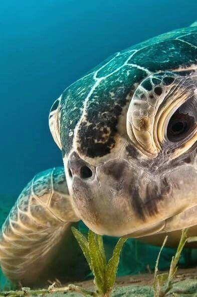 En el Caribe Mexicano llegan a desovar 3 tipos de tortugas.