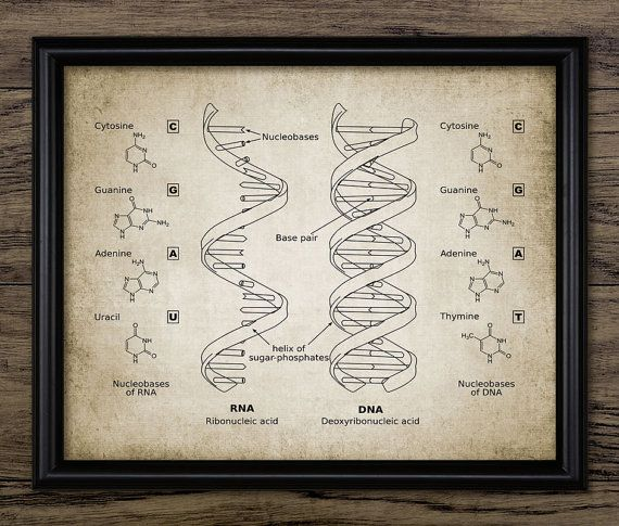 13 best dna art images on pinterest dna art chemistry and posters dna and rna wall art poster this poster is printed using high quality archival inks on heavy weight archival paper with a smooth matte finish malvernweather Choice Image