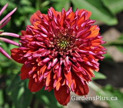 """Echinacea 'double scoop -orangeberry' coneflower, perennial for full sun  H 24"""" 60cm. Unique orange-red blooms"""