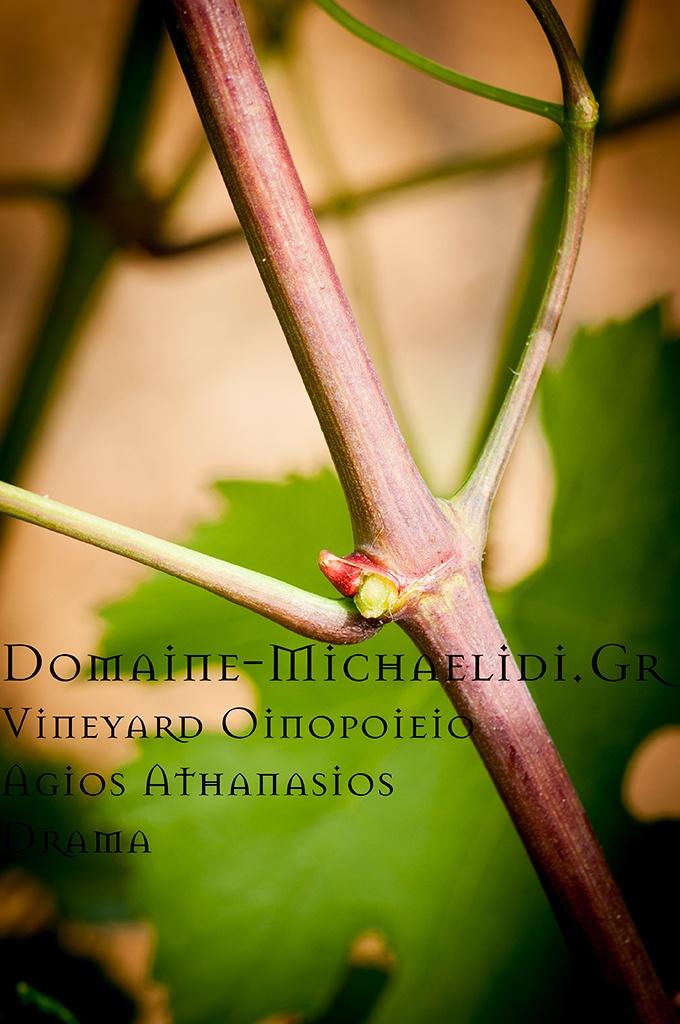 Άγιος Αθανάσιος Οινοποιείο,iordanis michailidis,ιορδανης μιχαηλιδης,σταφυλια,οινος,κρασι,δραμα,ηδωνιδα γη,κτημα μιχαηλιδη,domaine michaelidi,grapes,winefield,wineyard, vine harvest,τρυγος,αμπελωνας,ktima michaelidi,idonida gi,wine,oinos,krasi,ελληνικο κρασι,greek wines,αμπελοφυλλο,ανθη αμπελου