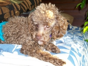 Adopt Cocoa Adopted On Chocolate Toy Poodle Small Dog Rescue