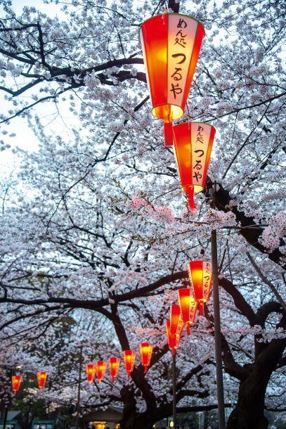 Parque de Ueno em Tóquio, Japão, está decorado para a primavera durante as celebrações hanami alinhadas com lanternas vermelhas que se acendem à noite.