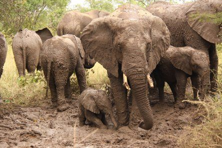"""""""We were surprised by a herd of elephant taking a mud bath and this tiny little one joining his mom and others of his herd... just love elephants and the way these gentle giants care for each other.""""  Join the #MyNatureMoment movement here: bit.ly/24yVWYL"""
