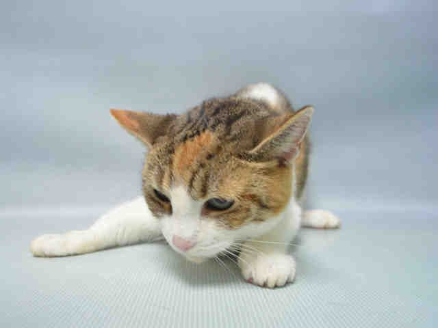 LAVENDER  - A1095950 - - Brooklyn  Please Share:***TO BE DESTROYED 11/26/16***LAVENDER HAS BEEN AT THE ACC SINCE NOV 5TH!  SHE IS A SPAYED 3 YR OLD AND WANTS A HOME FOR THE HOLIDAYS!! -  Click for info & Current Status: http://nyccats.urgentpodr.org/lavender-a1095950/