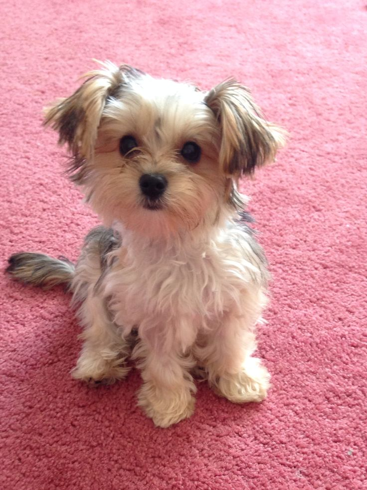 yorkie pins 1000 images about morkies yorkie malttse on pinterest 3945