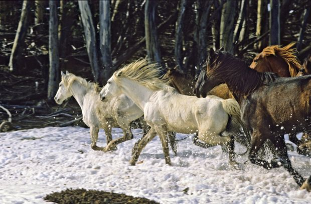 The Brumbies gallop through snow near Mt. Stirling in Victoria Australia