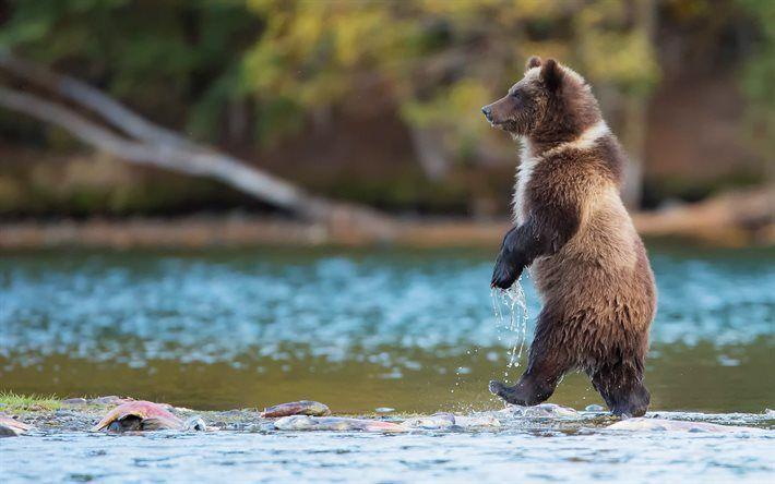 Lataa kuva karhu, Kanada, kalastus, grizzly, vettä, saalistajat, wildlife