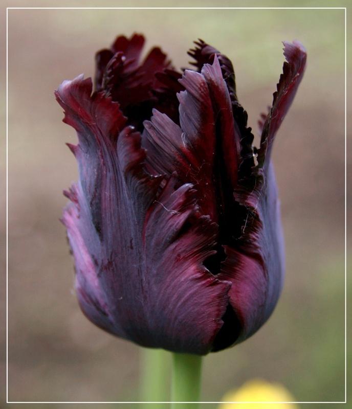 Holland, tulip