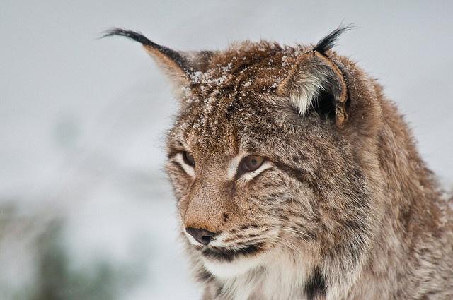 Lynx.