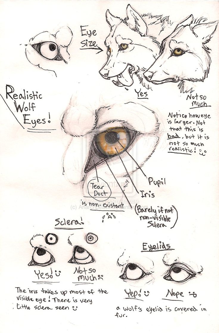 Wolf eye anatomy page by Anarchpeace.deviantart.com