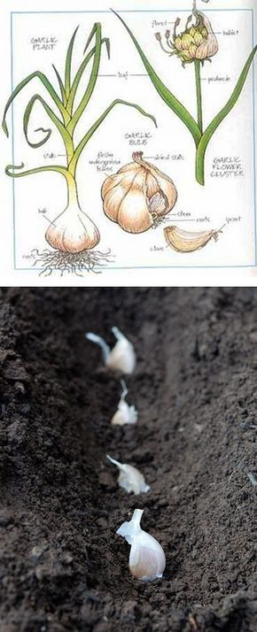 How to Plant and Harvest Garlic