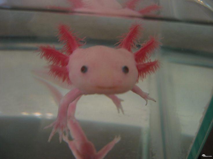 Axolotl: Os axolotl nada mais são que salamandras utilizadas em laboratório. A espécie é encontrada principalmente nas proximidades da Cidade do México. Na fase adulta, estes animais podem atingir entre 15 e 45 cm de comprimento. No caso dos machos, eles são identificáveis graças ao seu sistema de cloaca.