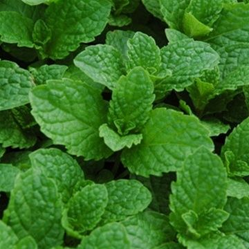 Mint       (look for more textured leaves, like 'Kentucky Colonel' type - they have nice flavor and in my opinion are hardier)