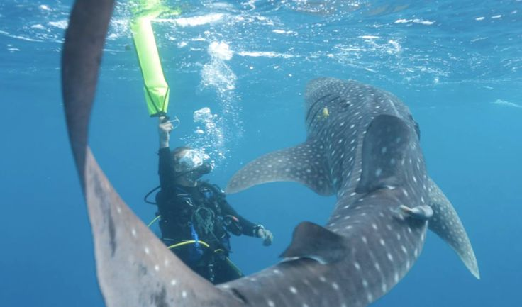 dancing with a baby whale shark at Huvadhoo Atoll